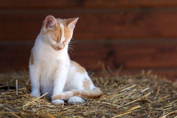 眠そうな茶色と白の猫