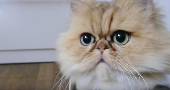 顔アップのペルシャ猫