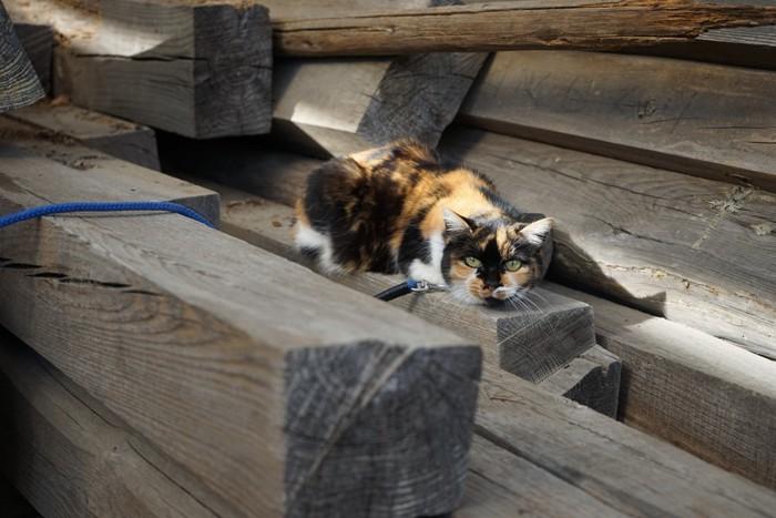 木材置き場の三毛猫