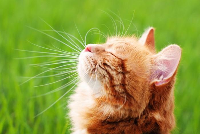 上を向いて目を閉じる猫の横顔