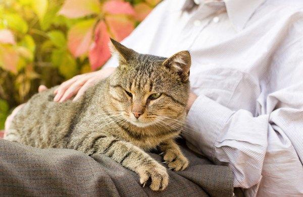 膝に乗るキジ猫