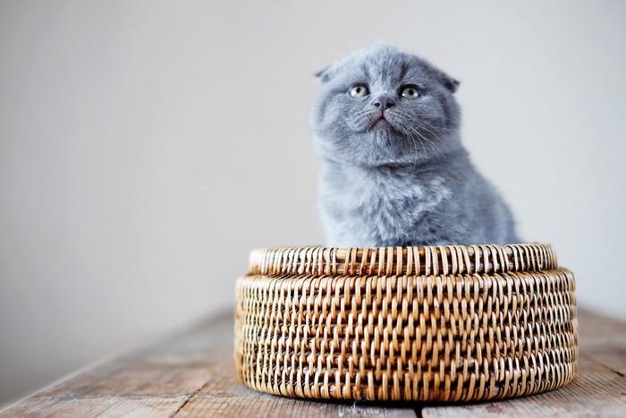 かごに入ったスコティッシュフォールドの子猫