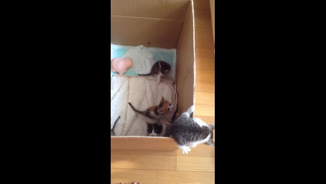 箱のフチに乗っている子猫