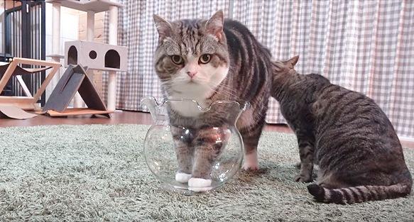 金魚鉢に前足を入れる猫
