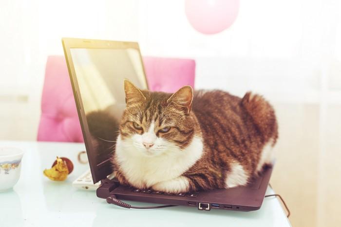 パソコンの上に乗って見つめる猫