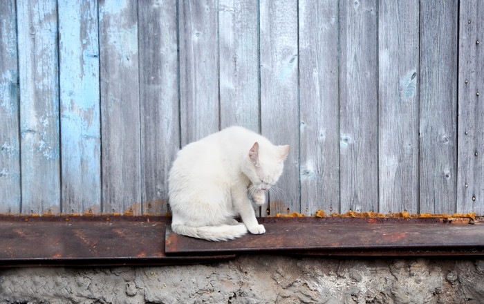 木壁の前にいる白猫