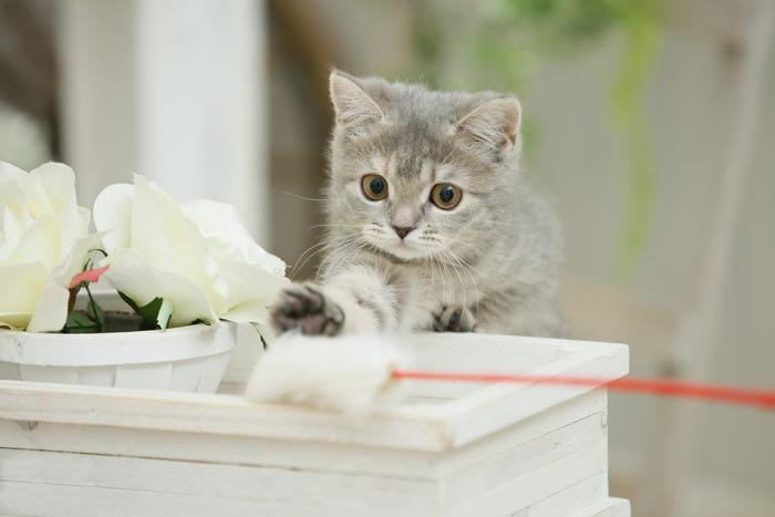 ねこじゃらしで遊ぶ子猫