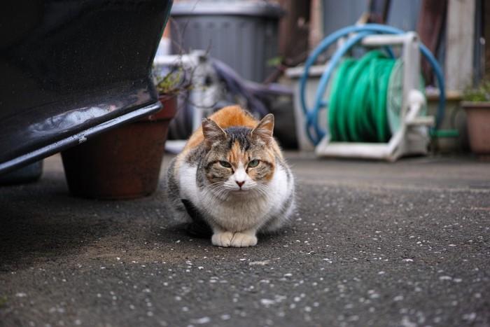 警戒するサビ猫