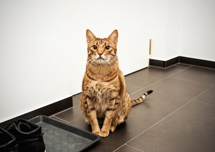玄関で座ってお出迎えをする猫