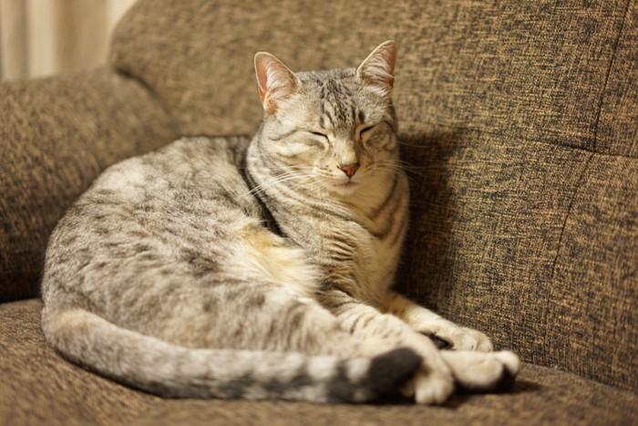 ソファーで寝るエジプシャンマウ