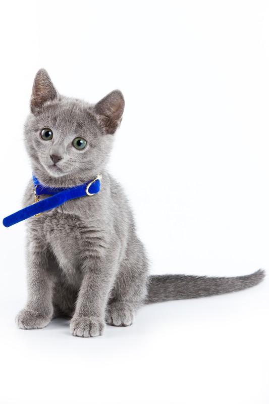 青い首輪の子猫