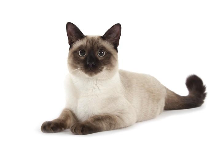 ねそべるシャム猫