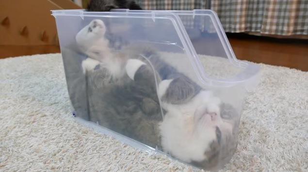 仰向けでプラケースに入る猫(全身)