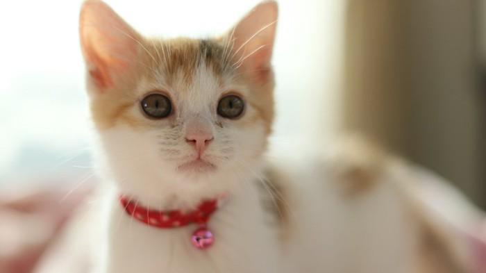 見つめる赤い首輪をした子猫