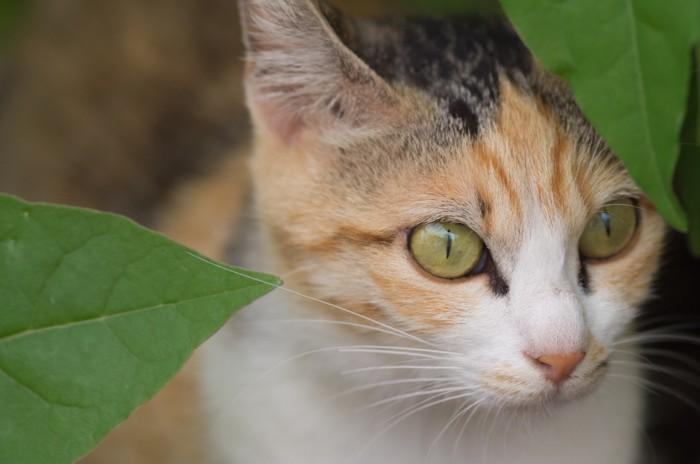 緑色の猫の目