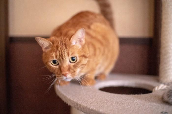 キャットタワーで遊ぶ茶トラ猫