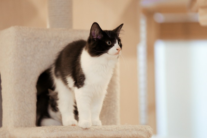 キャットタワーに座る猫