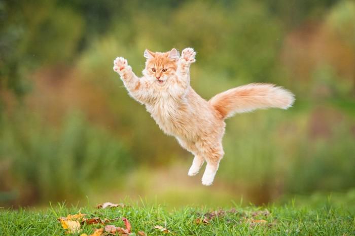 芝生で大きくジャンプする猫