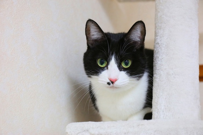 キャットタワーの上から見つめる猫