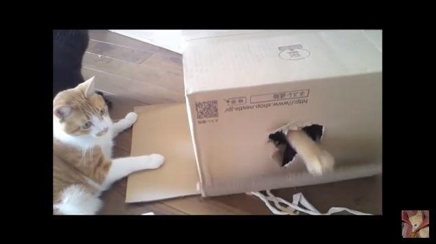 段ボールのフタを持ち上げる猫の手
