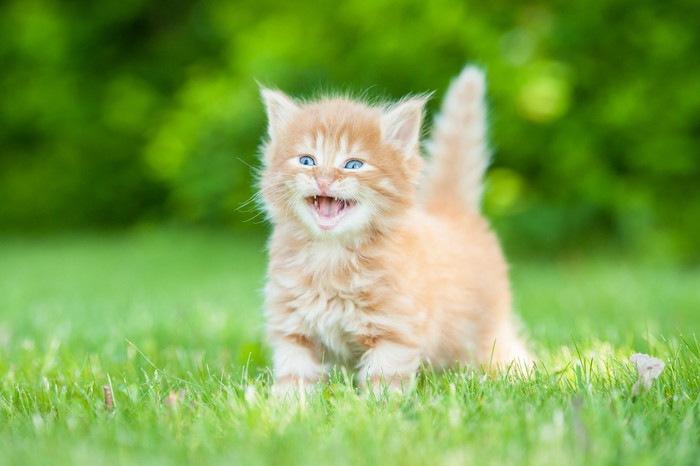 鳴いている子猫