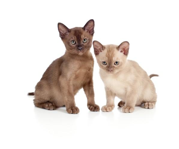 ヨーロピアンバーミーズの子猫
