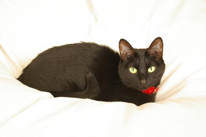 布団の上でくつろぐ赤い首輪の黒猫