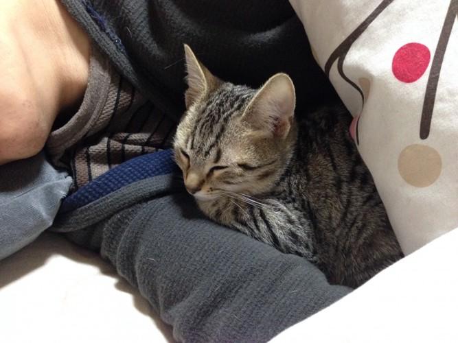 飼い主と一緒に寝る子猫
