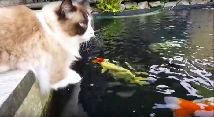 池で鯉と遊ぶ猫