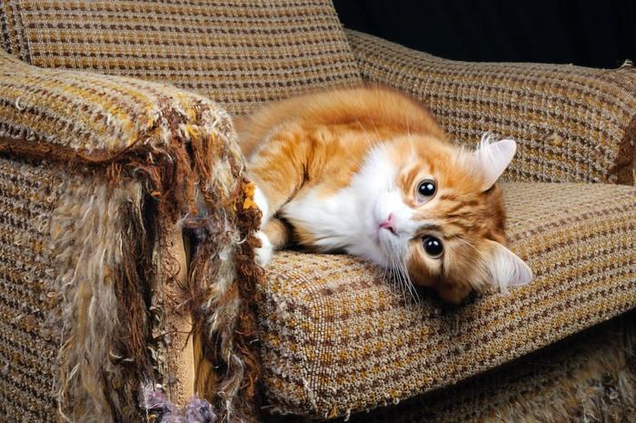 ボロボロのソファーでくつろぐ猫