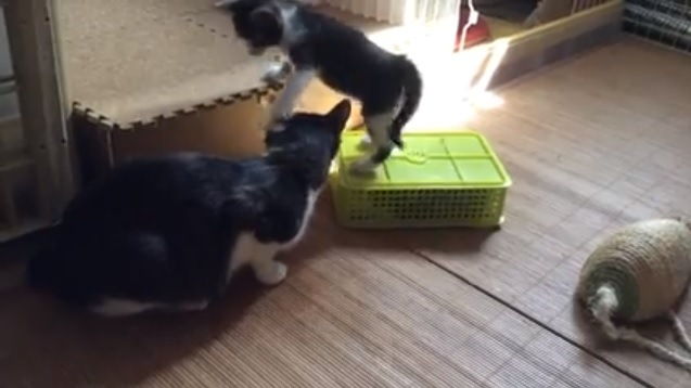 成猫とケースに乗る子猫