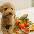 犬は柿を食べても大丈夫?与える量や注意点、柿レシピまで紹介