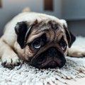 犬の肥満は健康にど…