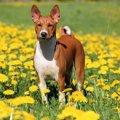 バセンジーという犬種について 性格や特徴、飼い方など