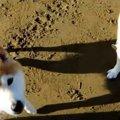 海で駆け回る柴犬親…