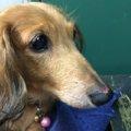愛犬の血流障害とリ…