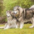 古代犬種5種の問題…