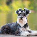 【犬のミニチュアシ…