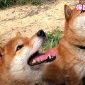 『元』超凶暴柴犬ペアの現在♡すっかり幸せそうな姿に感動!