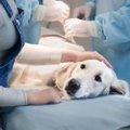 犬の肥満細胞腫の基…