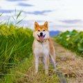 日本犬は喧嘩っ早い…