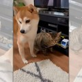 柴犬さんの一途な愛♡…
