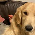 「ボク小型犬です」自分の大きさを理解してないゴルさんが天使♡と評判
