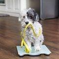 犬の理想の体重ってどれぐらい?ボディコンディションスコアについて