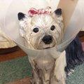 愛犬にぴったりなエリザベスカラーの作り方♪