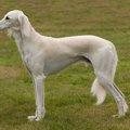 サルーキは名誉の象徴として尊ばれていた猟犬