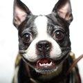 吠えない小型犬ラン…