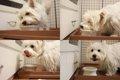 犬が餌を食べないと…の画像