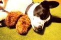 犬のお留守番は何時…の画像