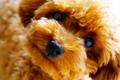 トイプードルの性格…の画像